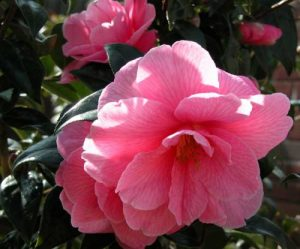 Camellia williamsii 'Donation' - winter flowering plants from the Weatherstaff PlantingPlanner