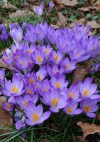 The cheerful little crocus - spring garden border idea from the Weatherstaff PlantingPlanner