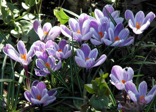 Crocus vernus 'Pickwick' - from the Weatherstaff PlantingPlanner