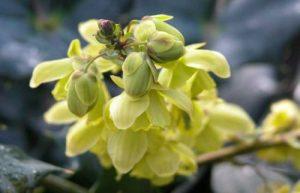 Mahonia for winter garden borders
