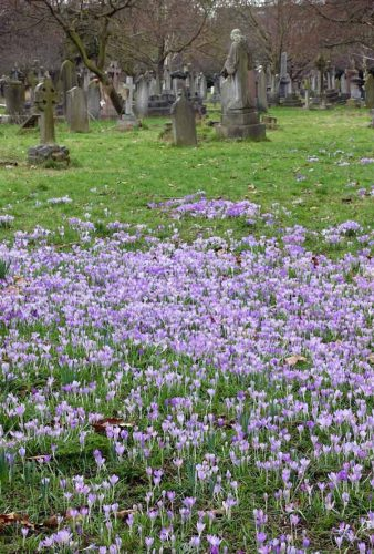 Crocuses and memorial stones