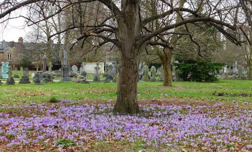 Crocuses at Margravine Cemetery