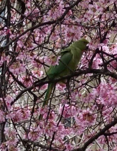Wild parakeet - from Weatherstaff