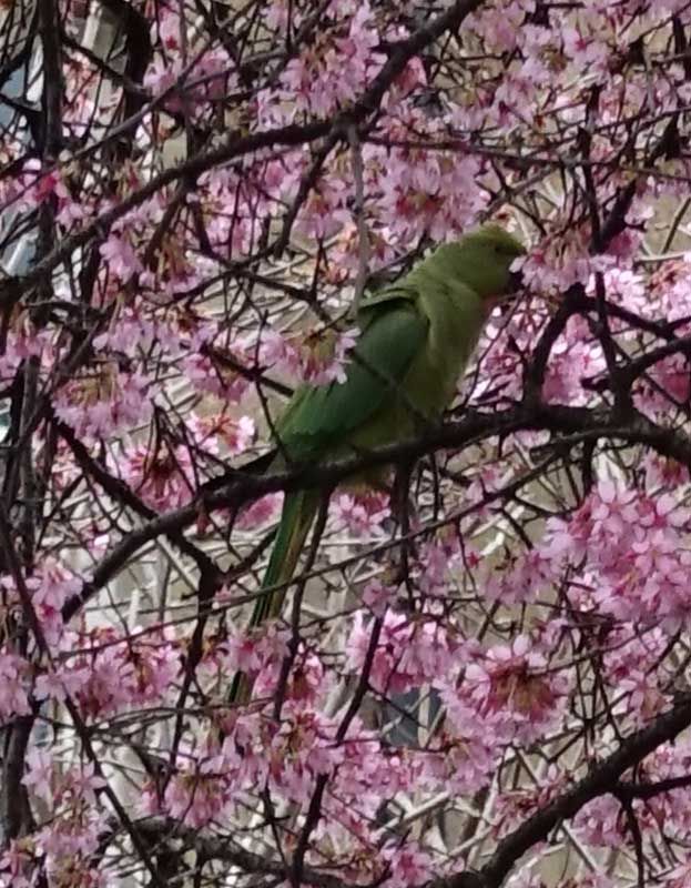 Wild parakeet - from Weatherstaff