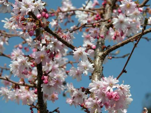 Prunus subhirtella 'Autumnalis Rosea' - winter ideas from Weatherstaff