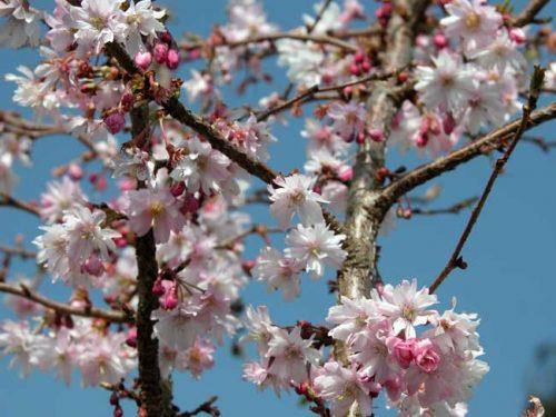 Prunus subhirtella 'Autumnalis Rosea' - winter ideas from Weatherstaff