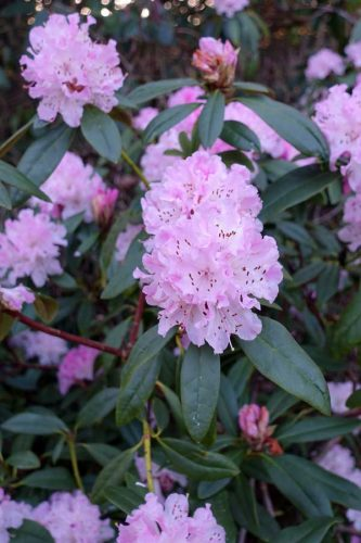Rhododendron - flowering in Cannizaro Park - from the Weatherstaff PlantingPlanner