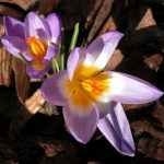 Crocus sieberi subsp. sublimis f. tricolor from the Weatherstaff PlantingPlanner