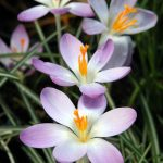 Crocus tommasinianus 'Whitewell Purple' - from the Weatherstaff PlantingPlanner