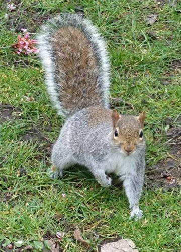 Squirrel at Margravine Cemetery, London
