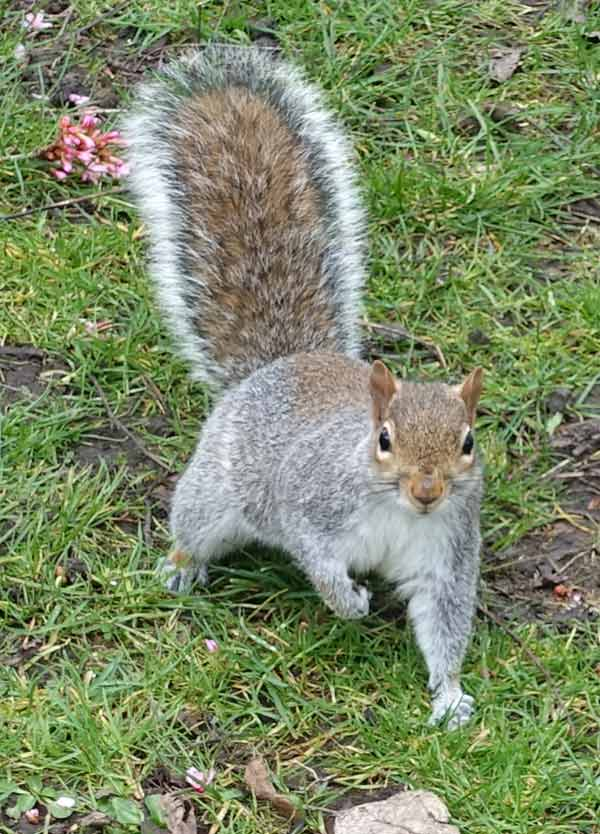 Squirrel at Margravine Cemetery, London