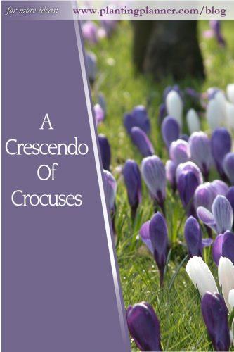 A Crescendo of Crocuses - from Weatherstaff garden design software