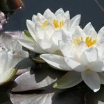 Water lilies - ponds in small gardens from Weatherstaff garden design software
