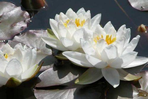 Water lilies - ponds in small gardens from Weatherstaff garden design software