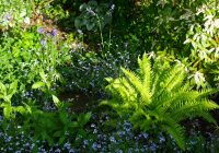Polystichum munitum, Myosotis sylvatica, the frosted foliage of Brunnera macrophylla Jack Frost and new buds opening on Centaurea monana - woodland plants from the Weatherstaff garden design software