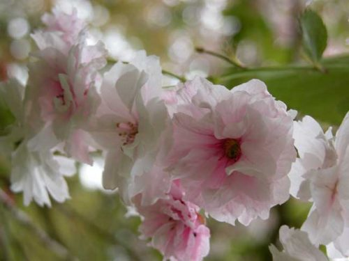 Prunus serrulata - from Weatherstaff garden design software