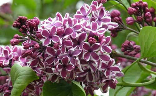 Sweetly scented lilac for spring posies - from Weatherstaff