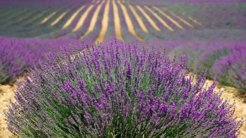 Lavender - an essential ingredient in a Mediterranean garden - from Weatherstaff garden design software
