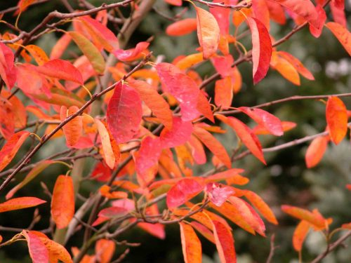 Amelanchier canadensis - autumn colour from the Weatherstaff PlantingPlanner