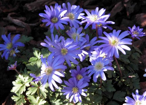 Anemone blanda - spring flowers from the Weatherstaff PlantingPlanner