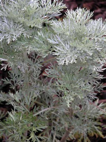 Artemisia Powis Castle - Mediterranean style garden borders from Weatherstaff