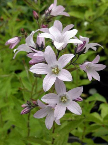 Campanula lactiflora Loddon Anna - summer flowers from the Weatherstaff PlantingPlanner