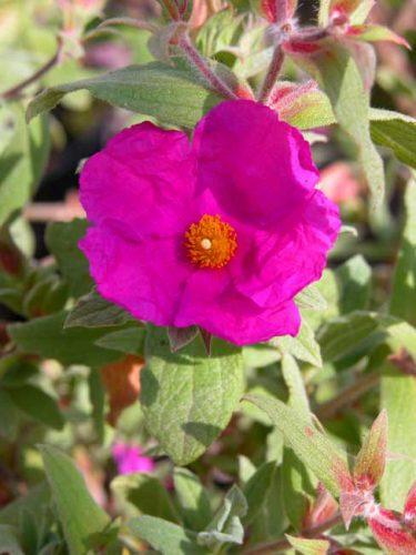 Cistus Sunset - magenta flowers for a Mediterranean garden border