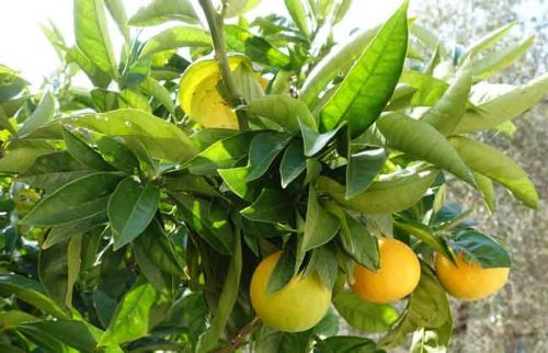 Pick your own citrus fruit