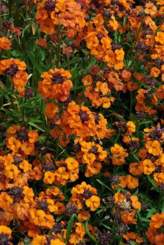 Erysimum Apricot Twist - Mediterranean garden ideas from Weatherstaff PlantingPlanner