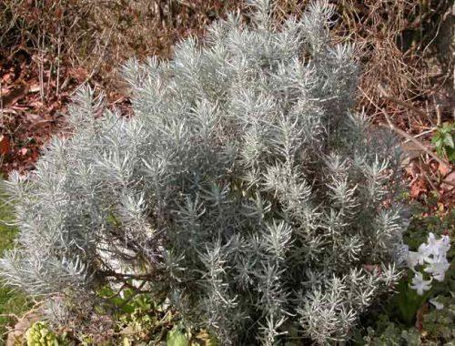 Silver Helichrysum italicum - Mediterranean garden ideas from Weatherstaff