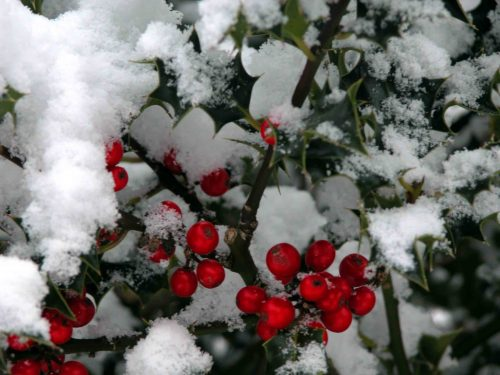 Holly in snow - winter colour from the Weatherstaff PlantingPlanner