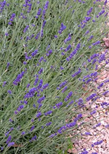 Lavandula angustifolia - Weatherstaff garden design software