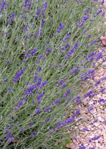 Lavandula angustifolia - Weatherstaff garden design software
