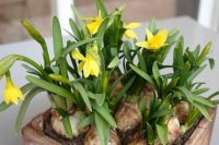 Narcissus Tête-à-Tête - spring border ideas from Weatherstaff