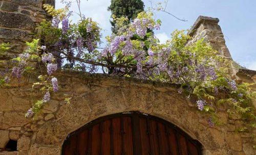 Wisteria in a Mediterranean garden