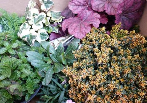Plants for containers - from Weatherstaff PlantingPlanner