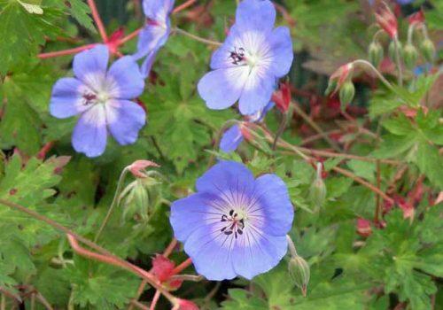 Geranium Rozanne - drought tolerant hardy geranium