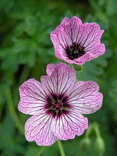Geranium cinereum Ballerina - drought tolerant geranium from Weatherstaff