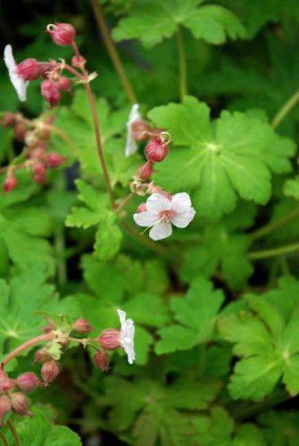 Geranium macrorrhizum Spessart - drought tolerant hardy geranium