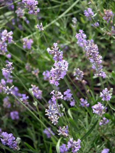 Lavender - Weatherstaff Factfile