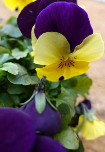 Violas for containers Weatherstaff garden design software