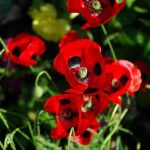 Papaver commutatum Ladybird - Weatherstaff PlantingPlanner
