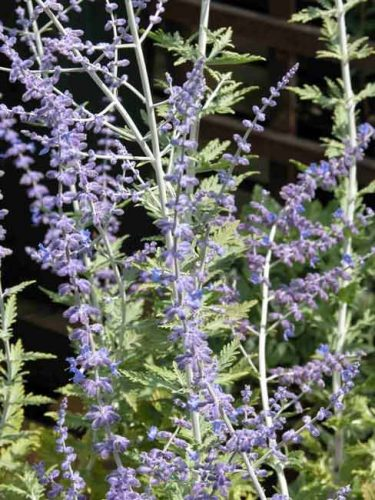 Perovskia atriplicifolia - from Weatherstaff PlantingPlanner