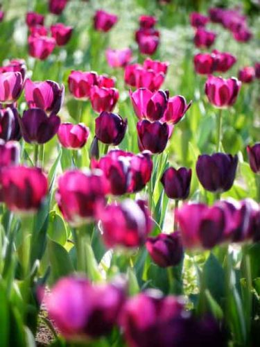 Captivating tulips - spring garden plans from Weahterstaff