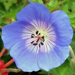 Geranium Rozanne - from the Weatherstaff PlantingPlanner