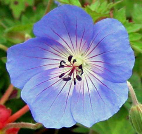 Geranium Rozanne - from the Weatherstaff PlantingPlanner