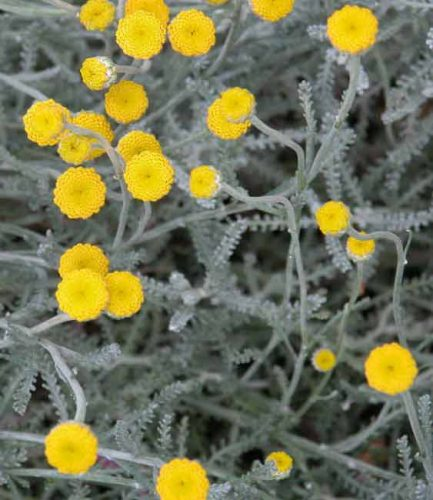 Santolina chamaecyparissus - silver plant for Mediterranean garden beds from Weatherstaff garden design software