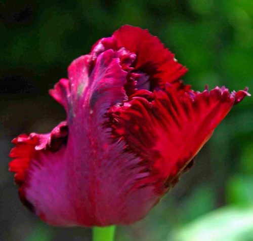 Tulip Black Parrot - spring bulbs ideas from Weatherstaff garden design software