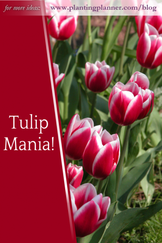 Tulip Mania! - from the Weatherstaff PlantingPlanner