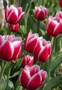 Colourful tulips - from Weatherstaff PlantingPlanner blog